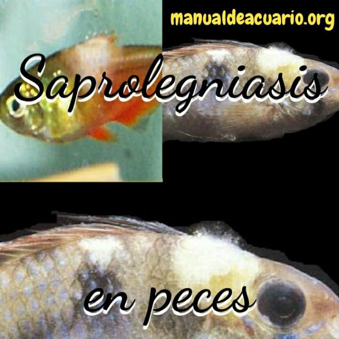 Saprolegniasis   en peces