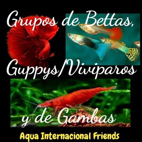 Grupos Whatsapp de Bettas Guppys y Gambas de AQUA INTERNACIONAL FRIENDS