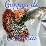 Grupo Whatssapp Guppys de Colombia