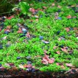 hemianthus calliitrichoides cuba