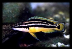 Julidochromis ornatus 292