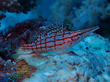 Longnose hawkfish at chole bay zanzibar jpeg