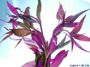 Alternanthera reinecki purple