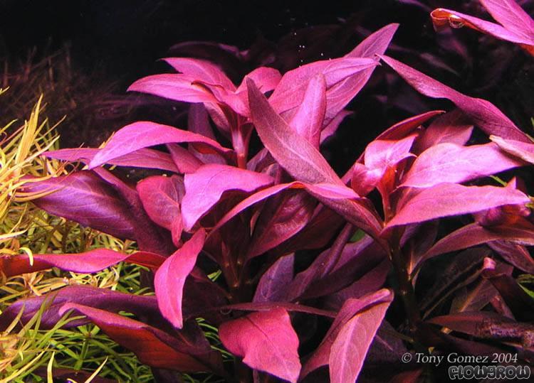 ludwigia glandulosa perennis
