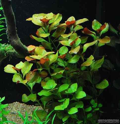 Ludwigia repens plantas para acuarios 19820 mlv20178286107 102014 o