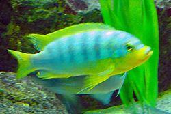 Maylandia aurora zoo frankfurt