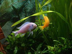 Maylandia estherae couple pict8598