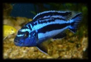 Melanochromis cyaneorhabdos 292