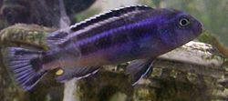 Melanochromis johanni male