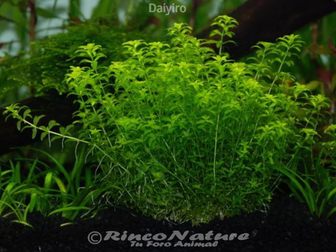 Micranthemum micrathemoides hemianthus micranthemoide