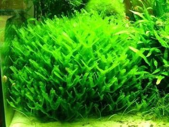 Monosolenium tenerum pellia 1
