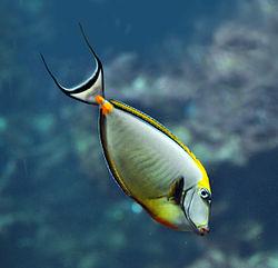 Naso elegans oceanopolis