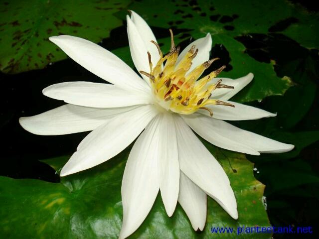 Nymphaea lotus zenkeri 2