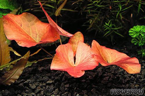 Nymphaea pubescens 4f7a020fb35a0