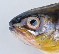 Hemorragia periocular en pez por Furunculosis atípica