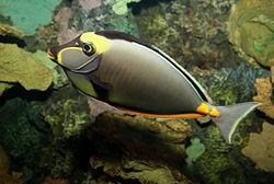 Orangespine unicornfish naso lituratus
