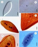 protoopalina pingi opalinidae microscopy tif