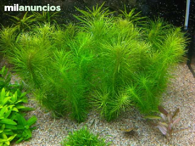 Plantas acuario pogostemon erectus 120216376 1