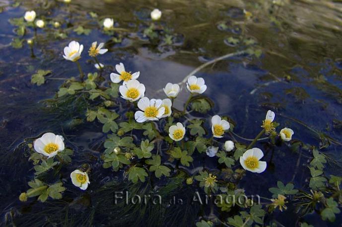 Ranunculus Aquatilis Ranunculus Acuatico