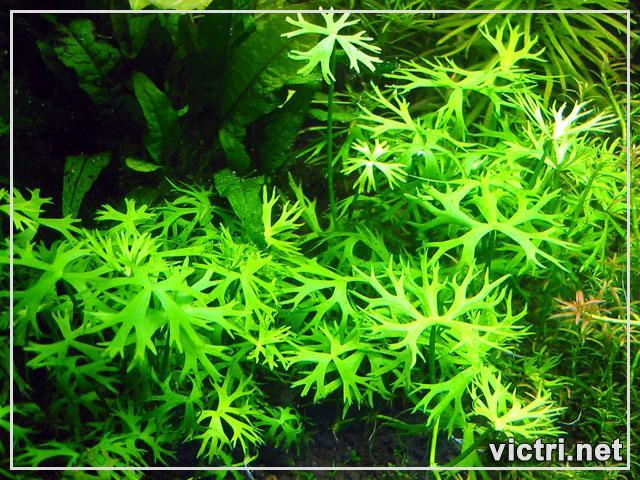 Ranunculus Inundatus 1