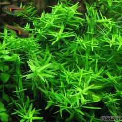 rotala  sp. green