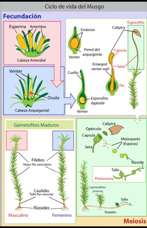 Ciclo de vida del musgo