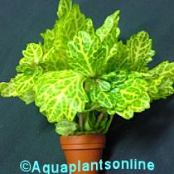 shiunnersia rivularis , weiss grun