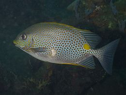 Siganus guttatus golden rabbitfish