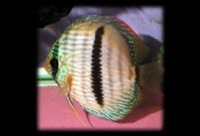 Symphysodon discus 292