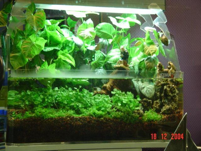 Syngoniun singonio terrestre falsa planta de acuario