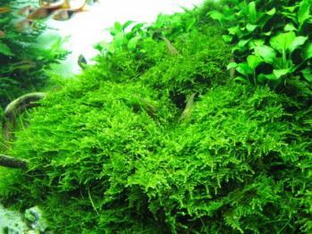 Vesicularia montagnei musgo de navidad christmas moss