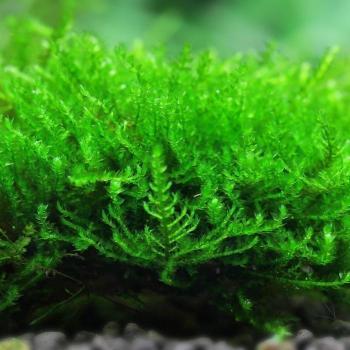 Vesicularia reticulata musgo erecto erect moss